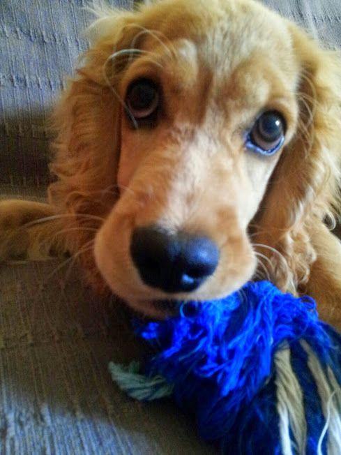 english cocker spaniel puppy...those eyes!!!