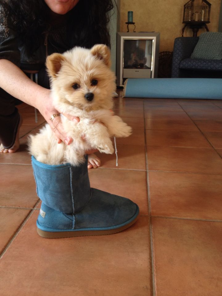 Pomeranian Cross A Lhasa Apso Cutest Puppy Puppies Dog Lovers Cute Puppies