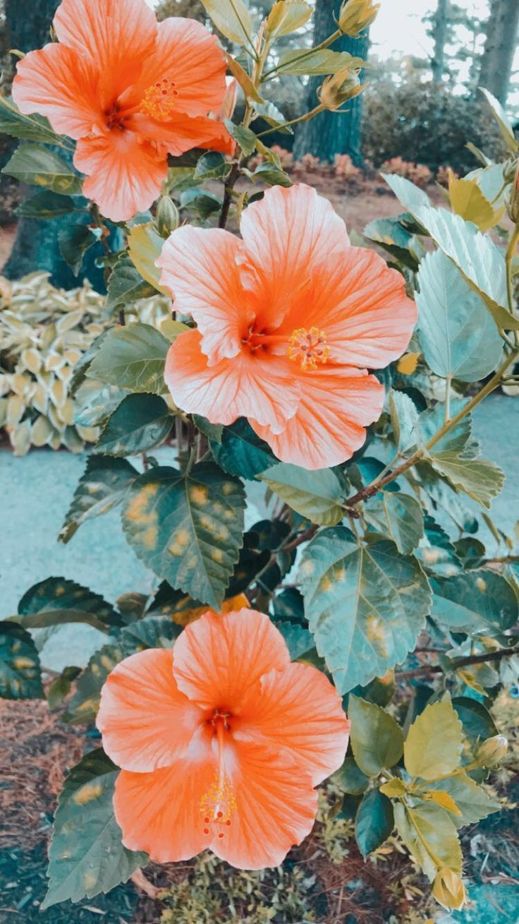 Hibiscus Flowers Flower Wallpaper Photo Wall Collage Pretty Wallpapers