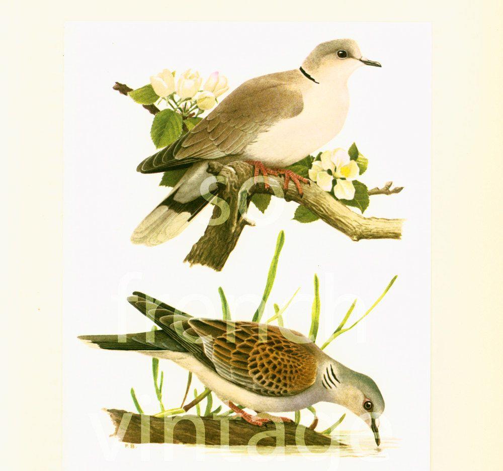 1961 European turtle Dove, Collared Dove vintage illustration, Dove ...