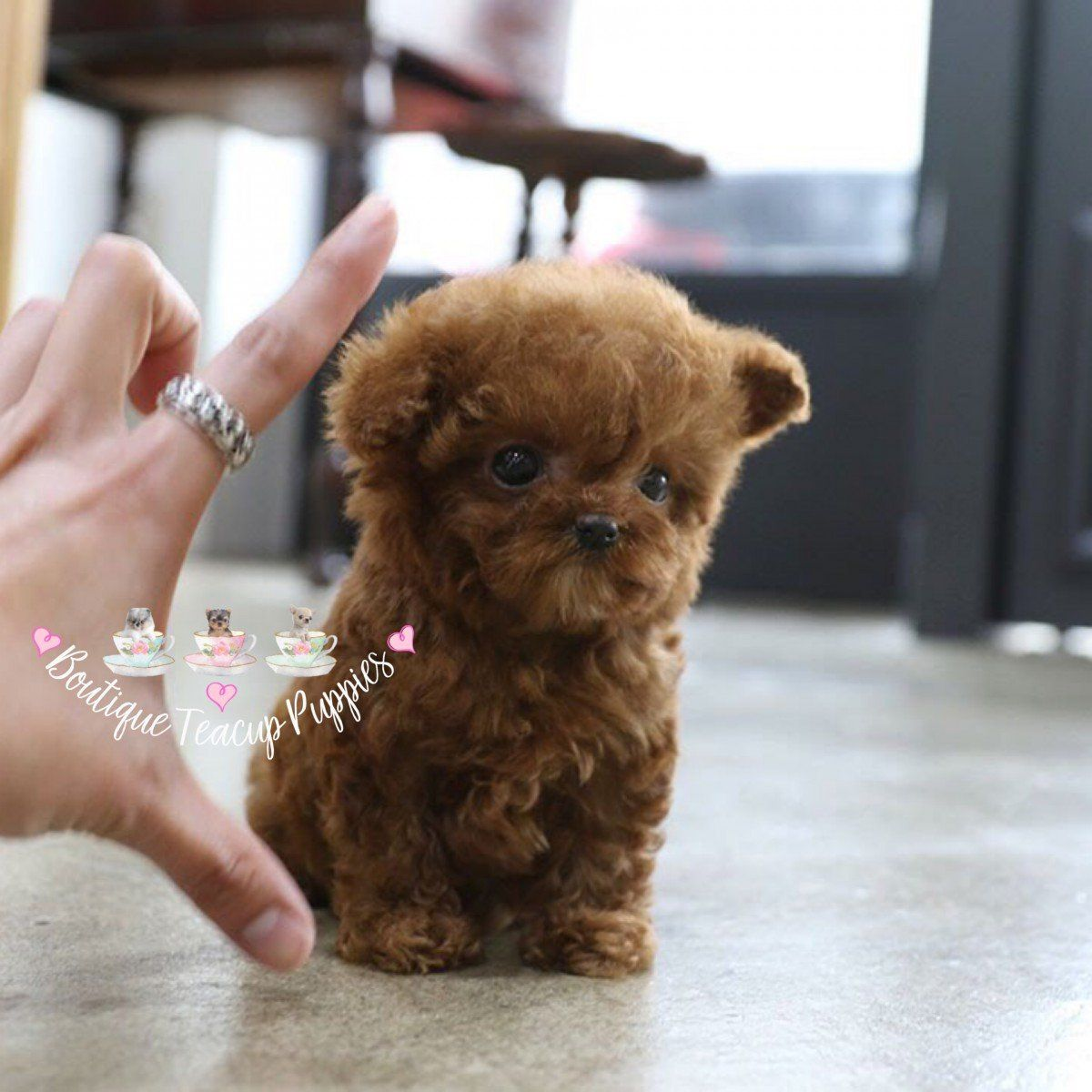 Baby Khloe The Dream Teddy Bear Poodle Teacup Puppies Micro