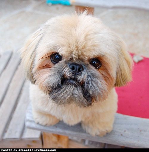 Cute Shih Tzu Dougies Mad Face Love Your Dog Visit Our Website