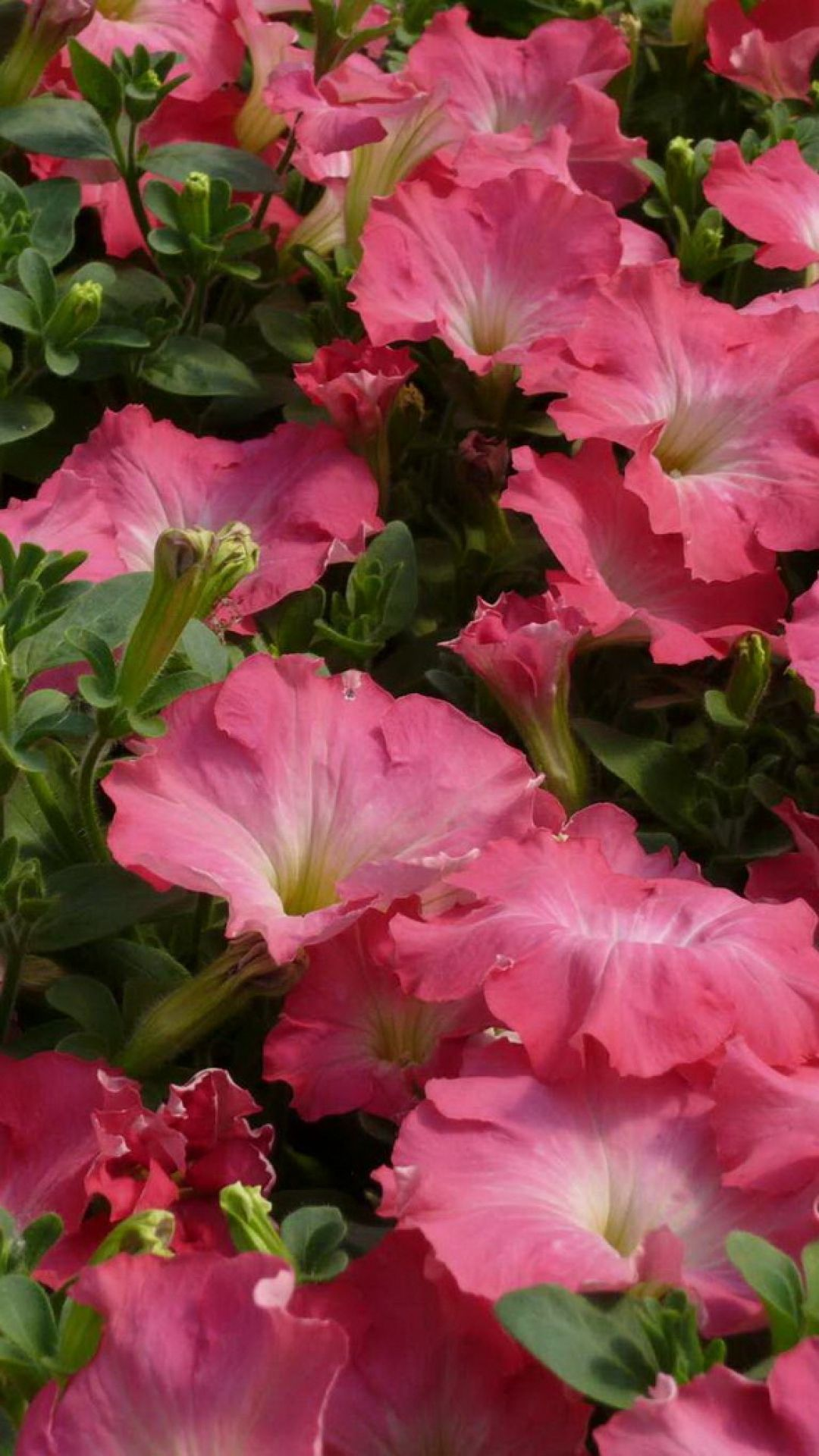 Petunia Flowers Pink Tender Green Beautiful Flowers Pictures Flowers Nature Beautiful Flowers