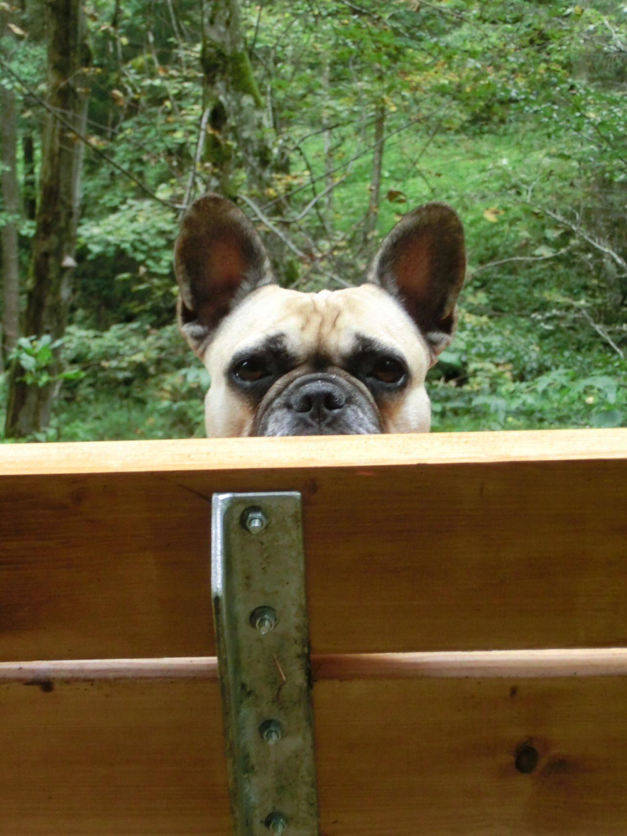 The Dailyfrenchie Franzosische Bulldoggenbabys Franzosische Bulldoggenwelpen Franzosische Bulldogge