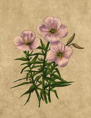 Primrose flower | Birth flowers, February birth flowers ...