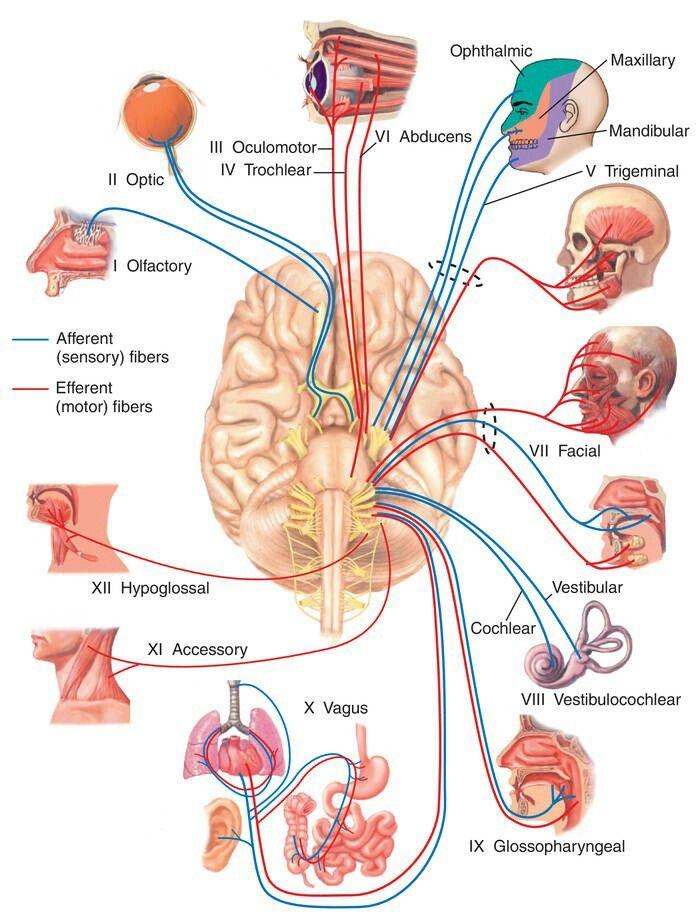 Cranial nerves | Anatomy | Pinterest | Cranial nerves