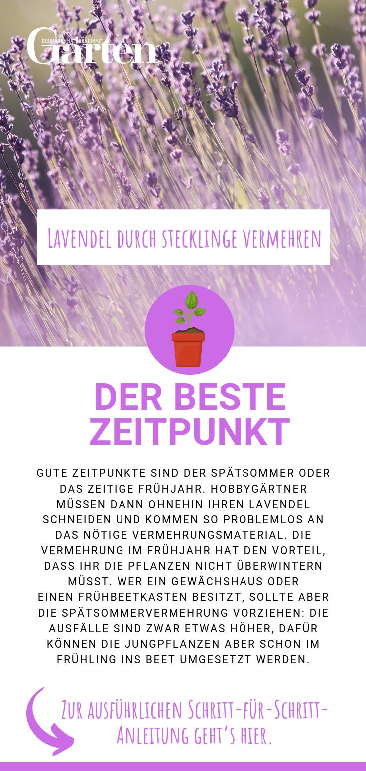 Lavendel durch Stecklinge vermehren: Der beste Zeitpunkt #kleinekräutergärten
