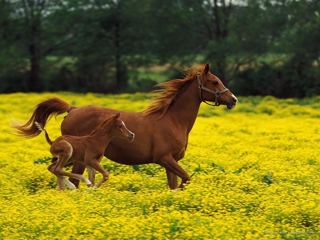 Two Horses Running Side By Side In A Field With Yellow