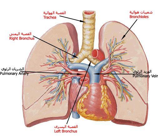 الجهاز التنفسى Respiratory System Written On The Body Human Body Anatomy Body Anatomy