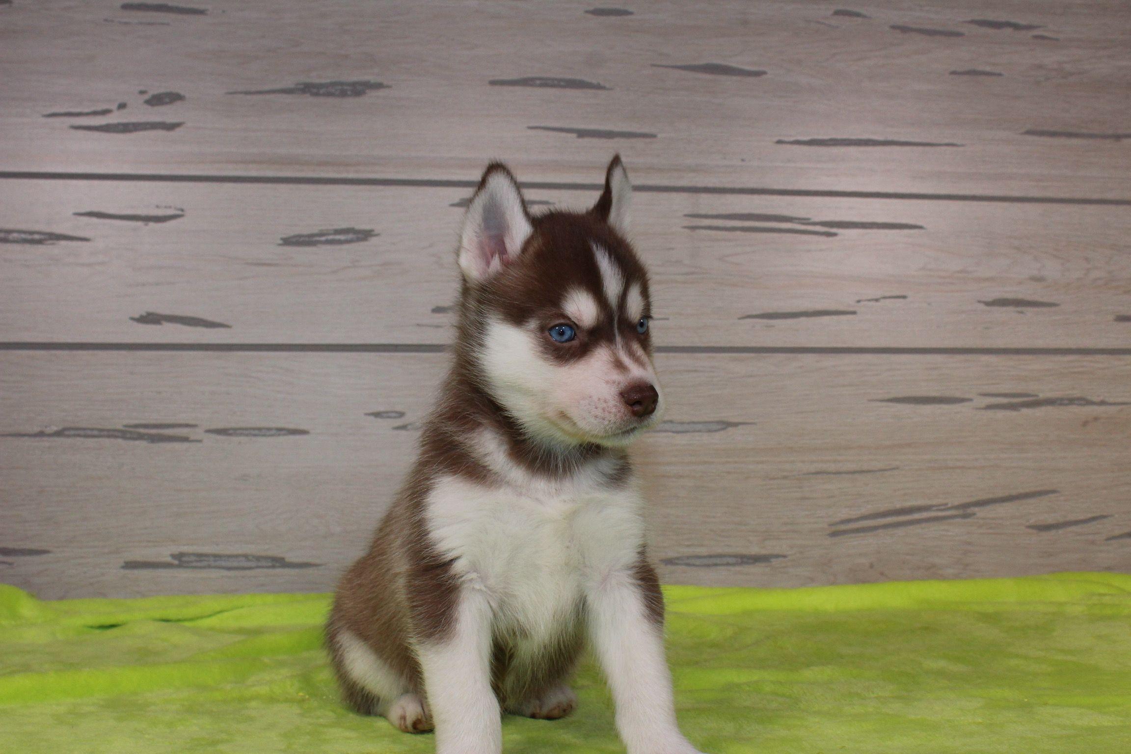 Simba Kolu Husky Puppy For Sale Nappanee Indiana Vip Puppies Husky Puppies For Sale Pomsky Puppies Puppies