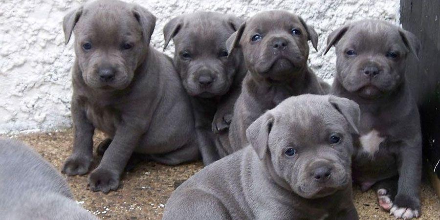 Staffordshire Bull Terrier Un Sorriso Tutto Dire Staffordshire Bull Terrier Puppies Cute Puppies Dogs