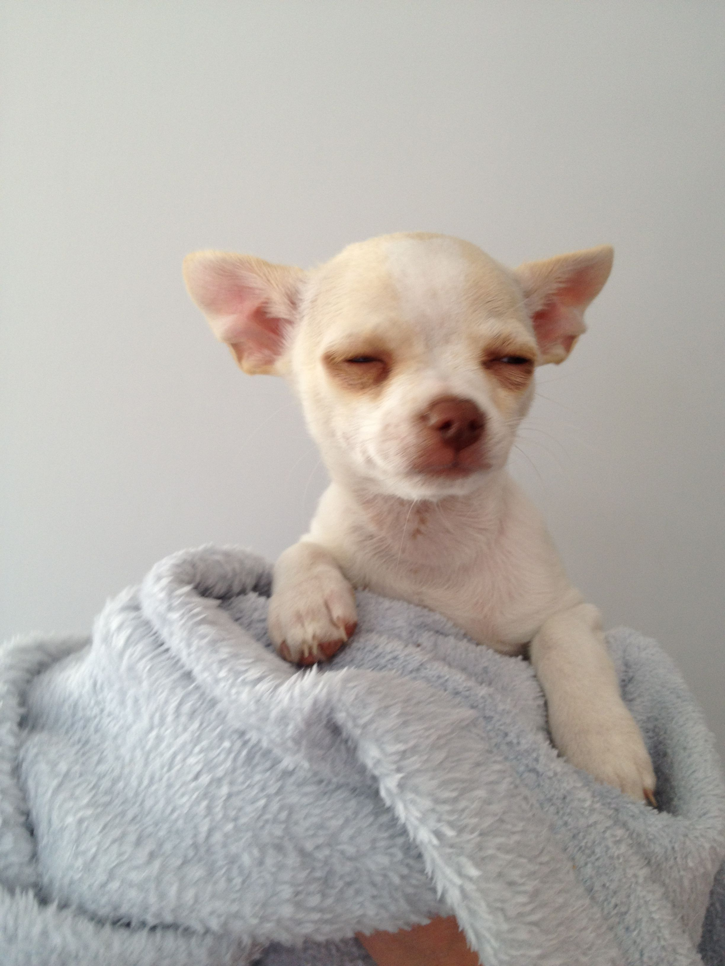 Daisy Smooth Coat Chihuahua Puppy Adorable Chihuahua Puppies