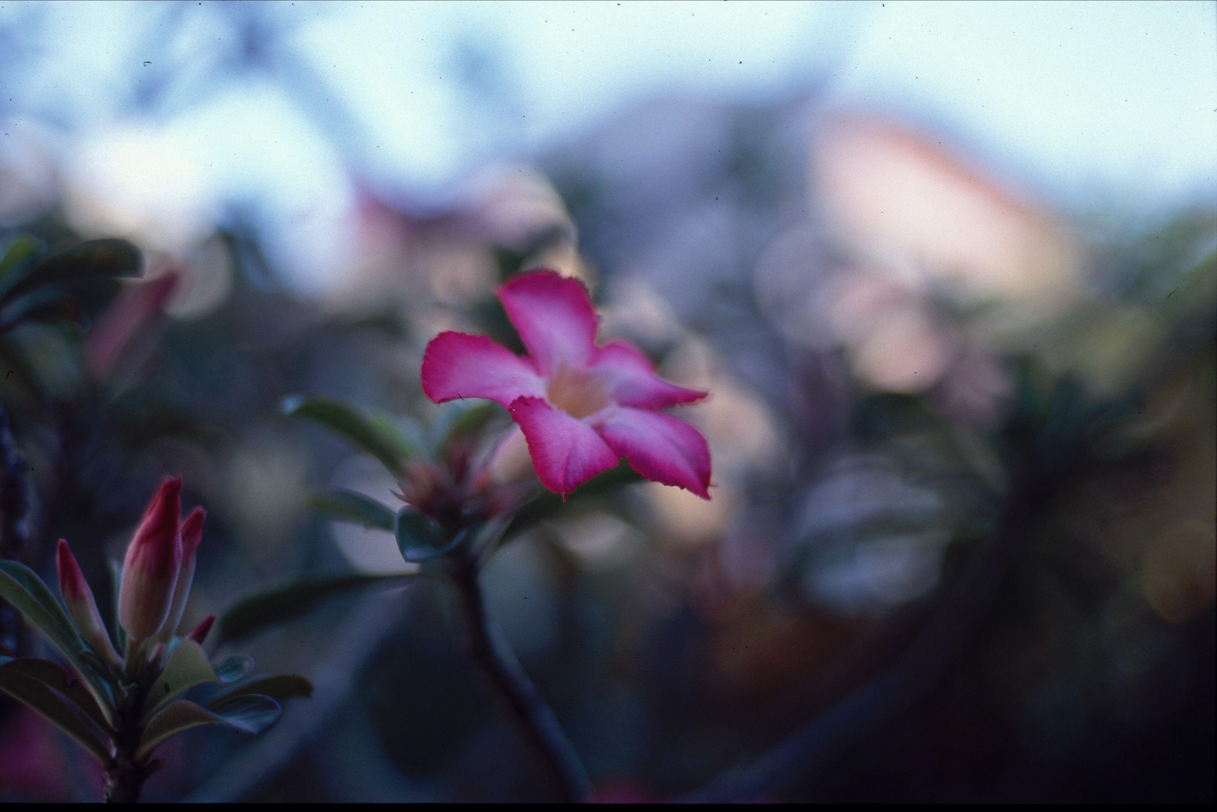 A Tropical Flower In Sri Lanka Tropical Flowers Flowers Plants