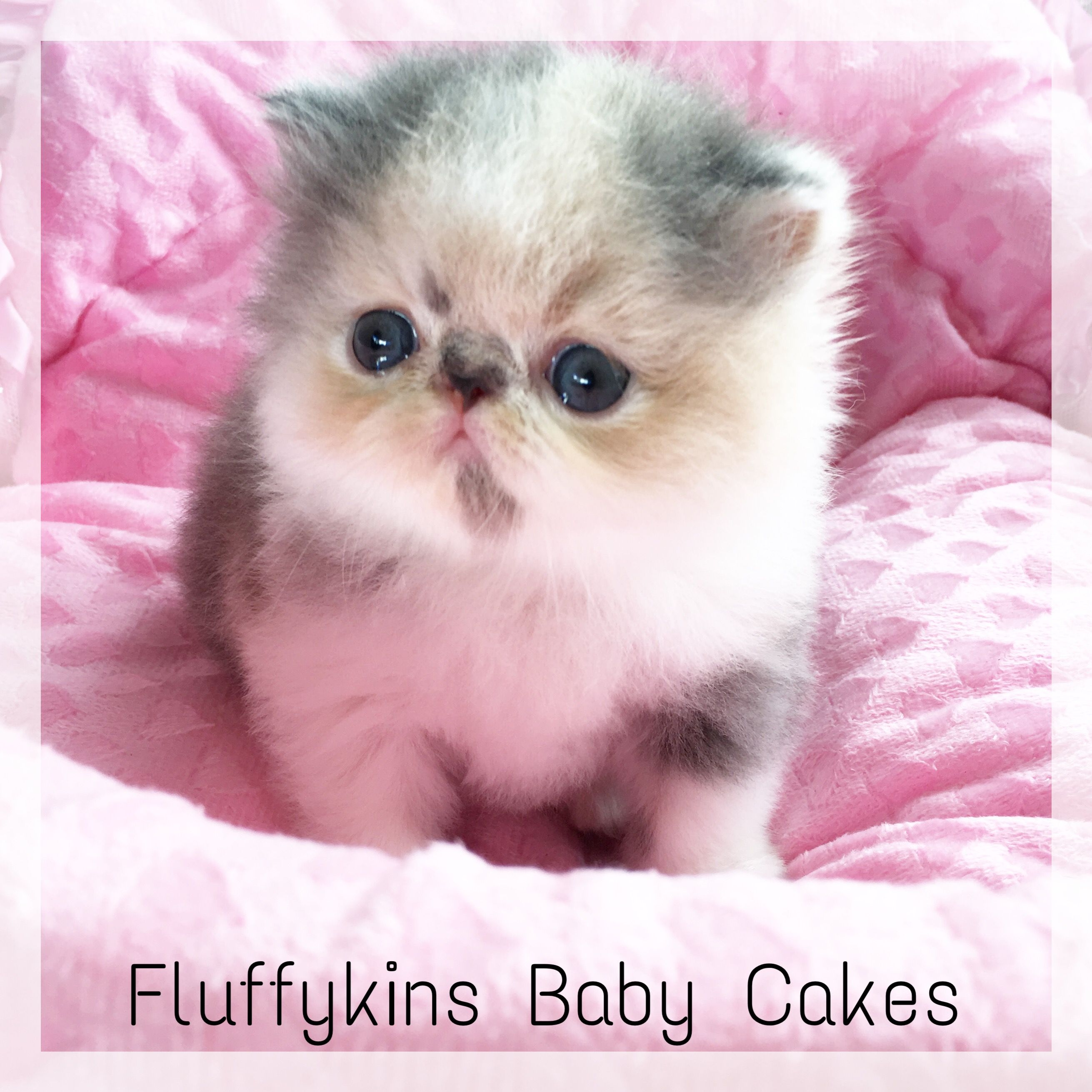 So Sweet Fluffykins Baby Cakes My Bluecream Smoke Bicolour Baby Girl Now Four Weeks Old Kittens Kittens Cutest Cute Cats And Kittens Persian Kittens