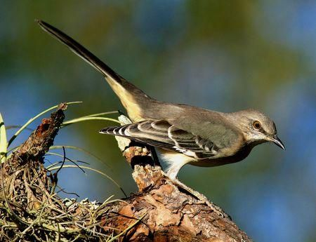 Northern Mockingbird | Birds that dine at our Feeders ...