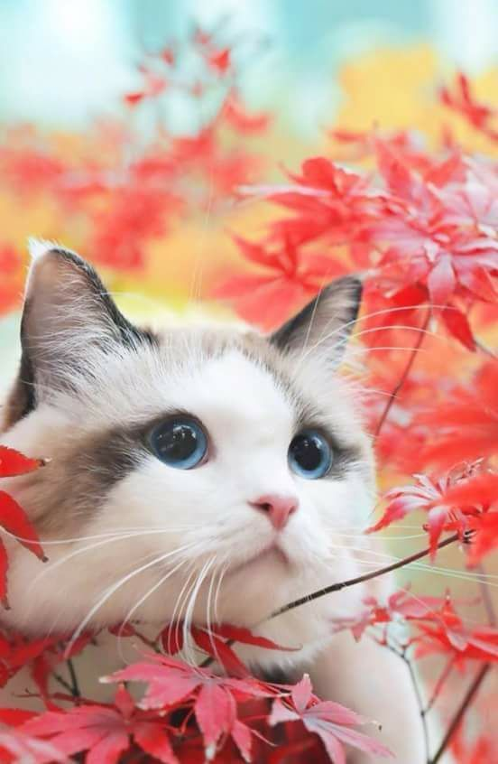 14 Most Amazingly Beautiful Cat Breeds In The World Cute Cats Kittens Cute Cats Kittens Cutest