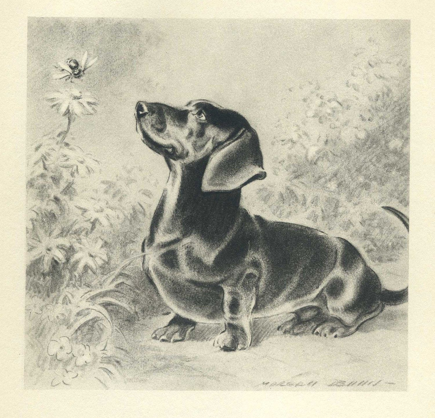 Curious Dachshund Vintage 1940s Dog Print Morgan Dennis Art Or