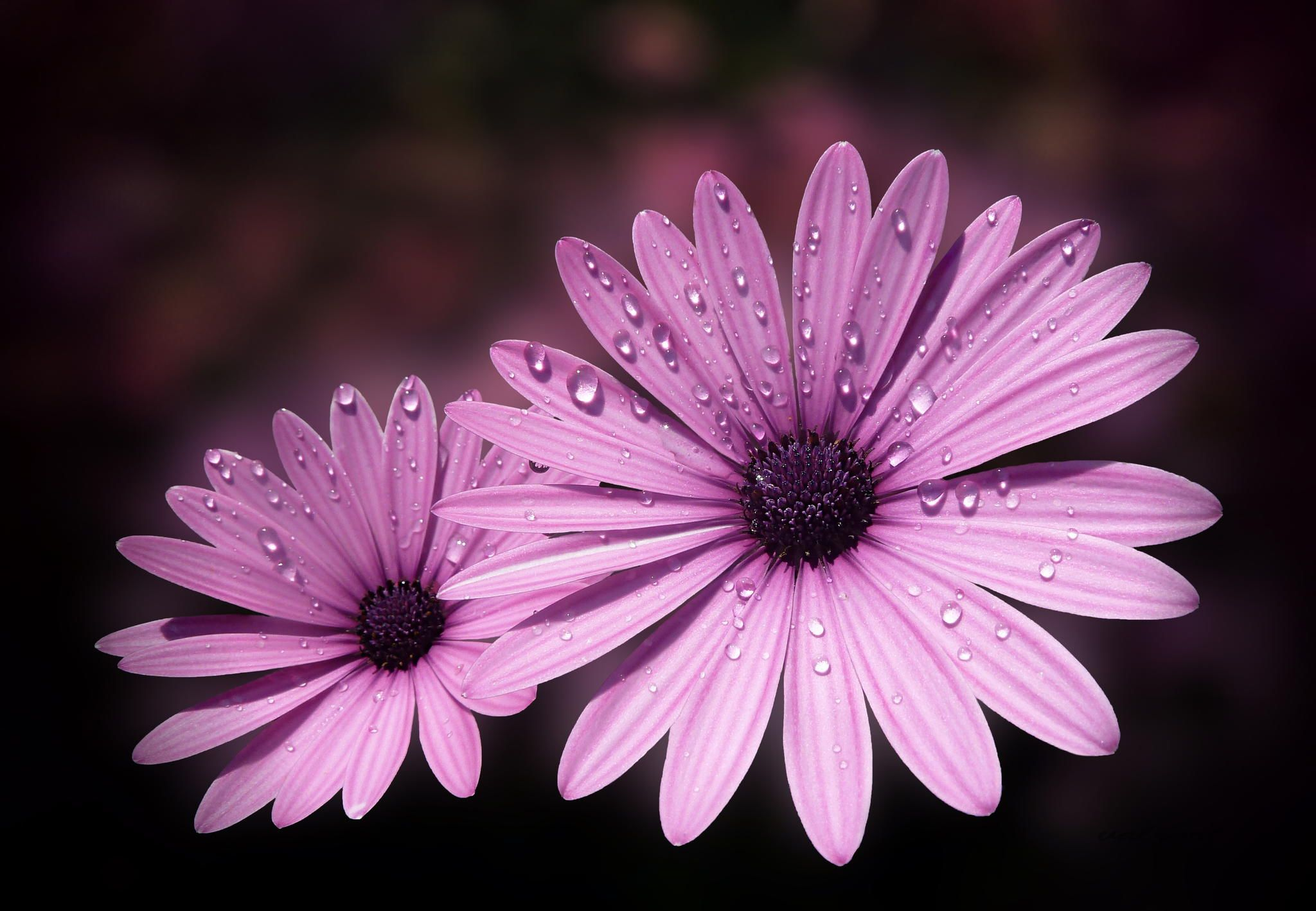 Photograph Dew drops on Daisies by Valerie Anne Kelly on 500px