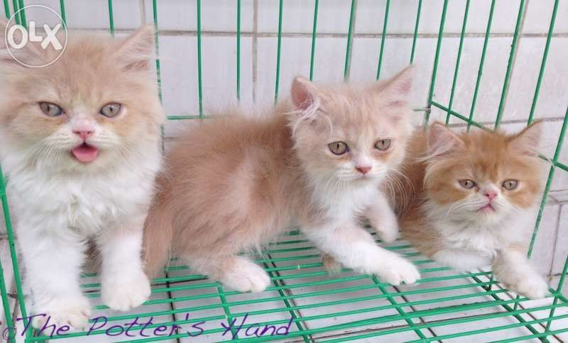 Persian Kittens For Sale Philippines Find New And Used Persian