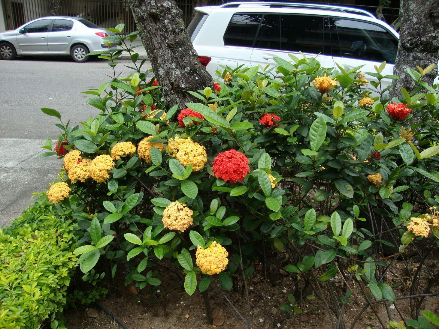 Ixora no canteiro da rua ixora pinterest arbustos for Arbustos de jardin fotos