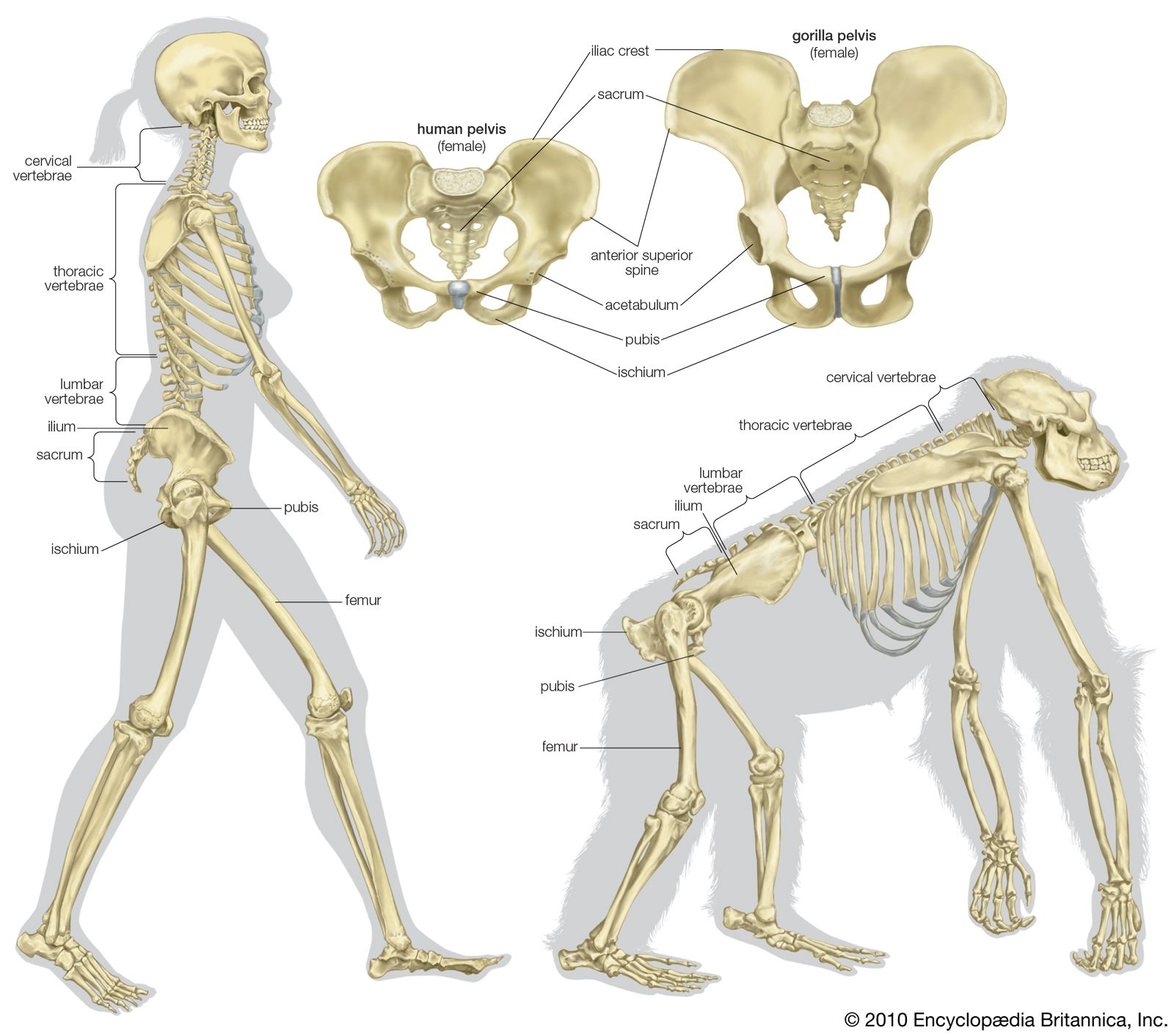 The skeletal structure of a human being (left) and of a gorilla ...