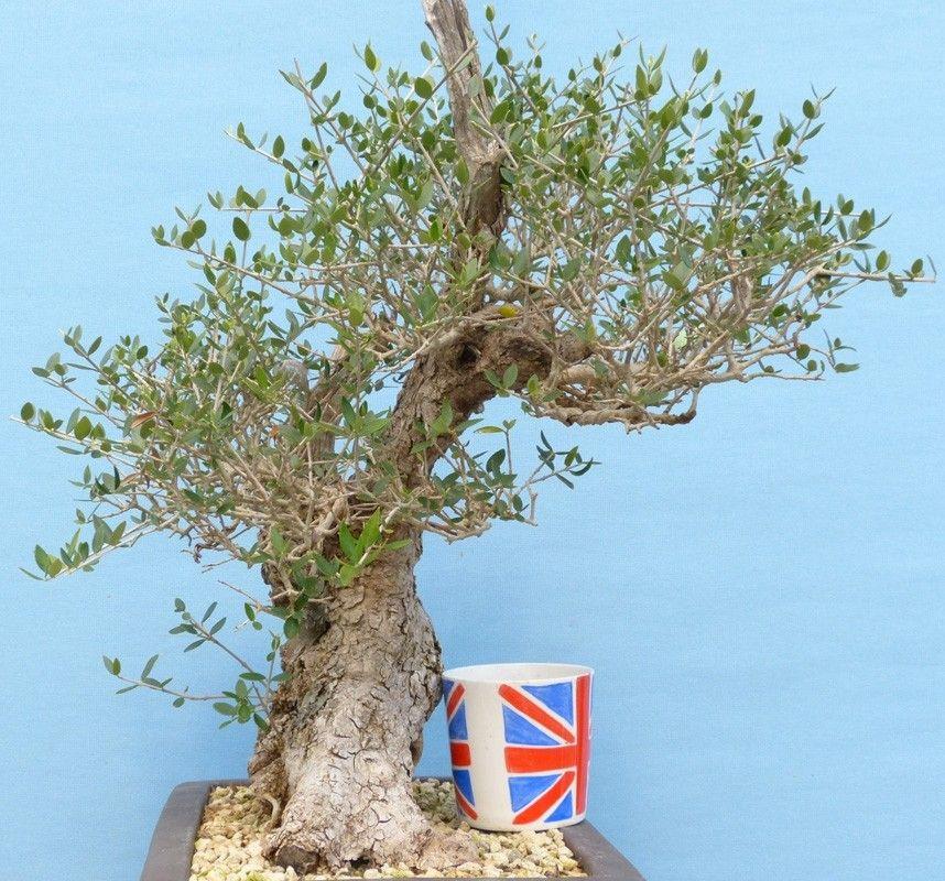 Olive Tree Beautiful Yamadori Bonsai Olea Oleaster With Images
