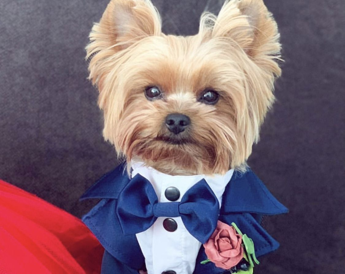 Navy Dog Tuxedo Black Tie Dog Wedding Bow Tie Flower Boutonniere Yorkie Dog Tuxedo Navy Dog