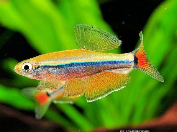 Lemon Whitecloud Tanichthys Cf Thacbaensis Rare Fish Fish Aquarium Fish