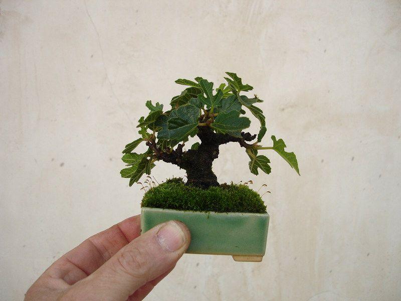 shito bonsai google suche mame shito keshitsubo pinterest bonsai pflanzen und baum. Black Bedroom Furniture Sets. Home Design Ideas