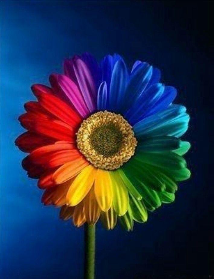 Rainbow Daisy With Images Rainbow Flowers Rainbow Abstract