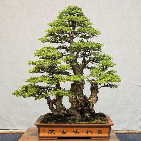 Dupuich Most Popular Photos Elm Bonsai Chinese Elm Bonsai Indoor Bonsai Tree