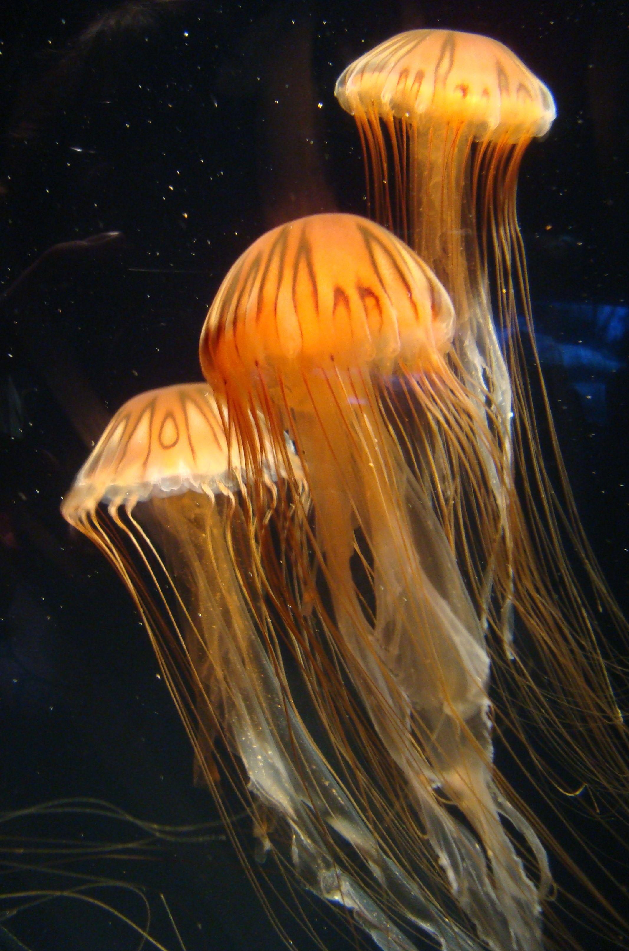 Jellyfish at Long Beach Aquarium of the Pacific ...