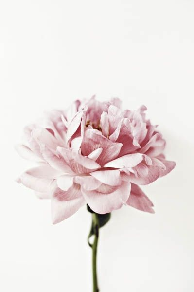 single stem pink flower once wed flowers pinterest blumen bl ten und pfingstrosen. Black Bedroom Furniture Sets. Home Design Ideas