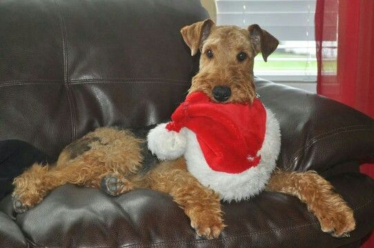 Airedale Terrier // Kaufmanns Puppy Training // dog