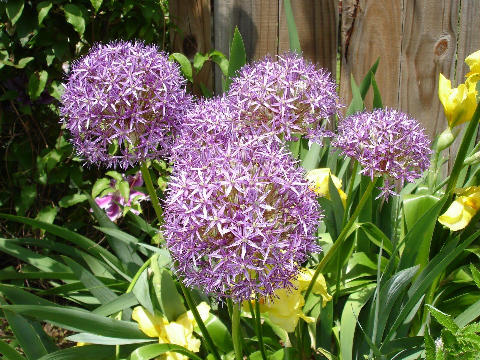 Names of Flowers Cashjocky's Photos Puffy Purple