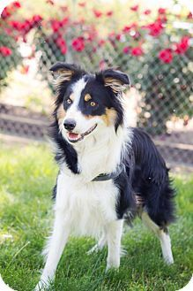 Corning Ca Border Collie Mix Meet Q A Dog For Adoption Dog Adoption Border Collie Collie