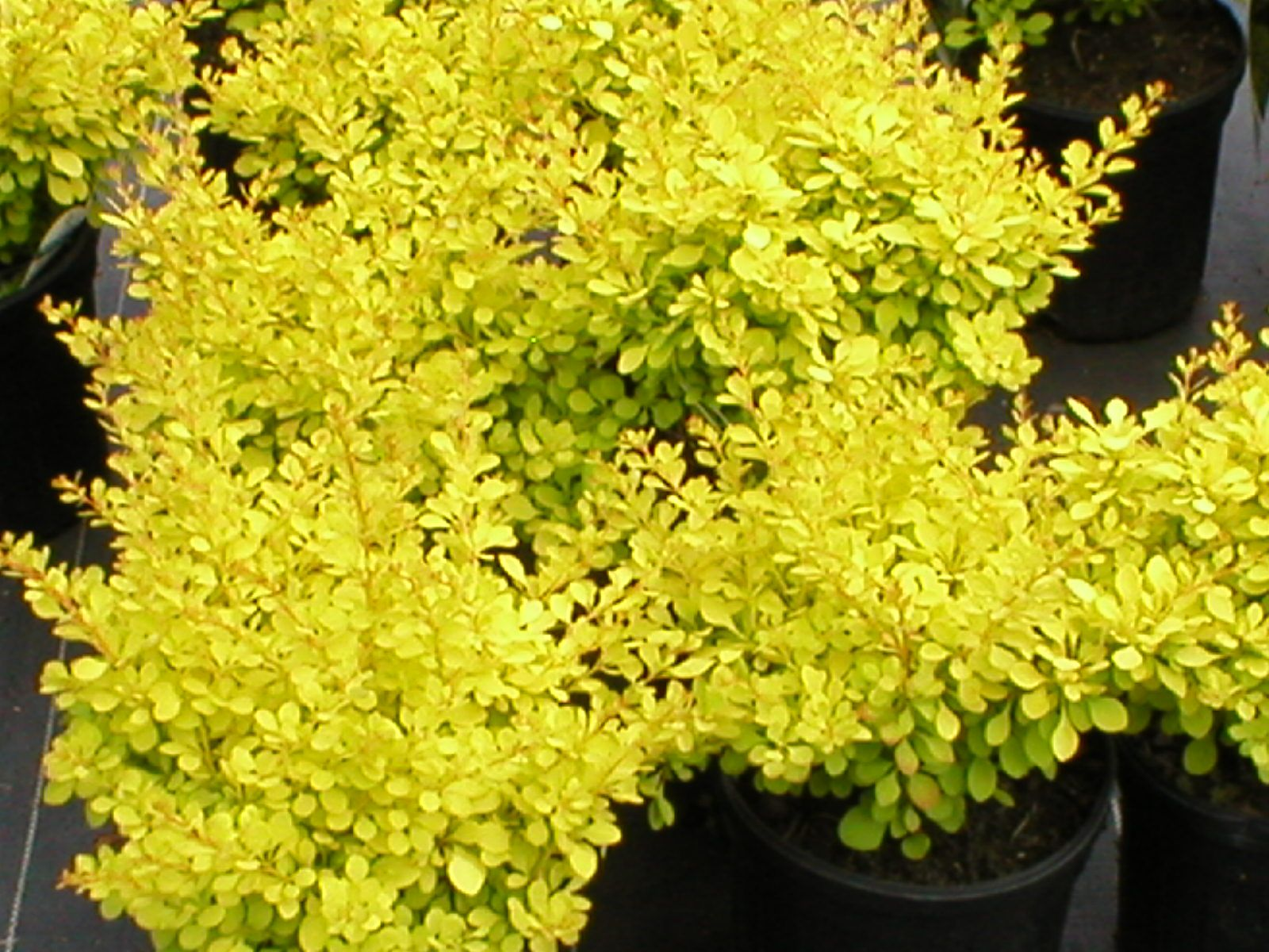 Dwarf Golden Barberry
