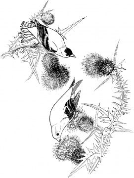 Goldfinch 3 Free Pages To Print And Color Bird Coloring Pages