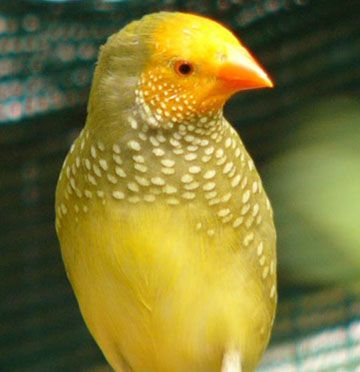 Yellow Star Finch | Birds, Colorful birds, Bird feathers