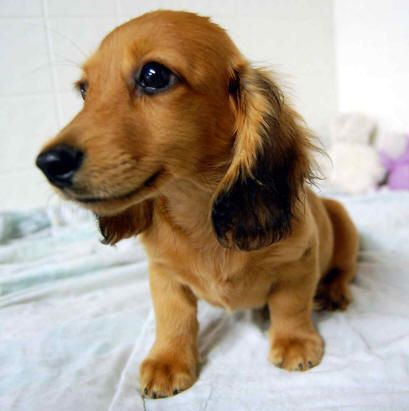 Sweet Red Long Coat Mini Dachshund Dachshund Puppies Dachshund