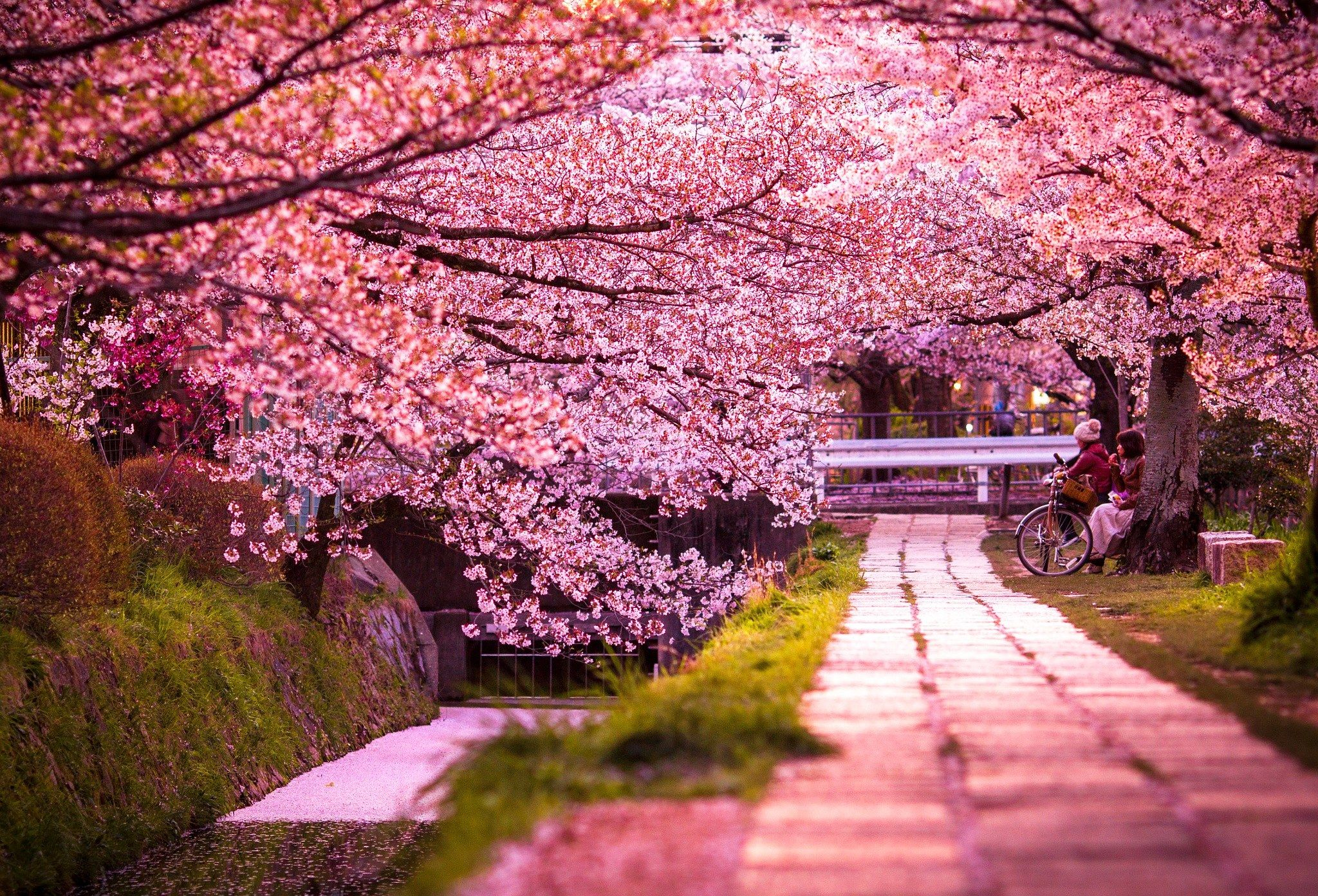 Cherry Blossom Are On Huge Rate In Japan Cherry Blossom Japan Nature Photography Cherry Blossom Wallpaper