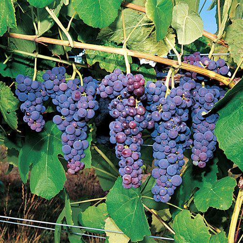 Glenora Grape Plant | Purple & Red Grapes | Pinterest | Plants ...