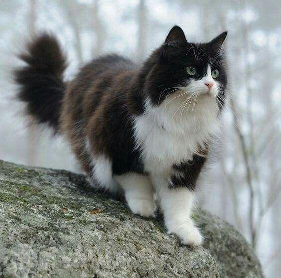Looks Like My Callie Cute Cats Beautiful Cats Norwegian Forest Cat