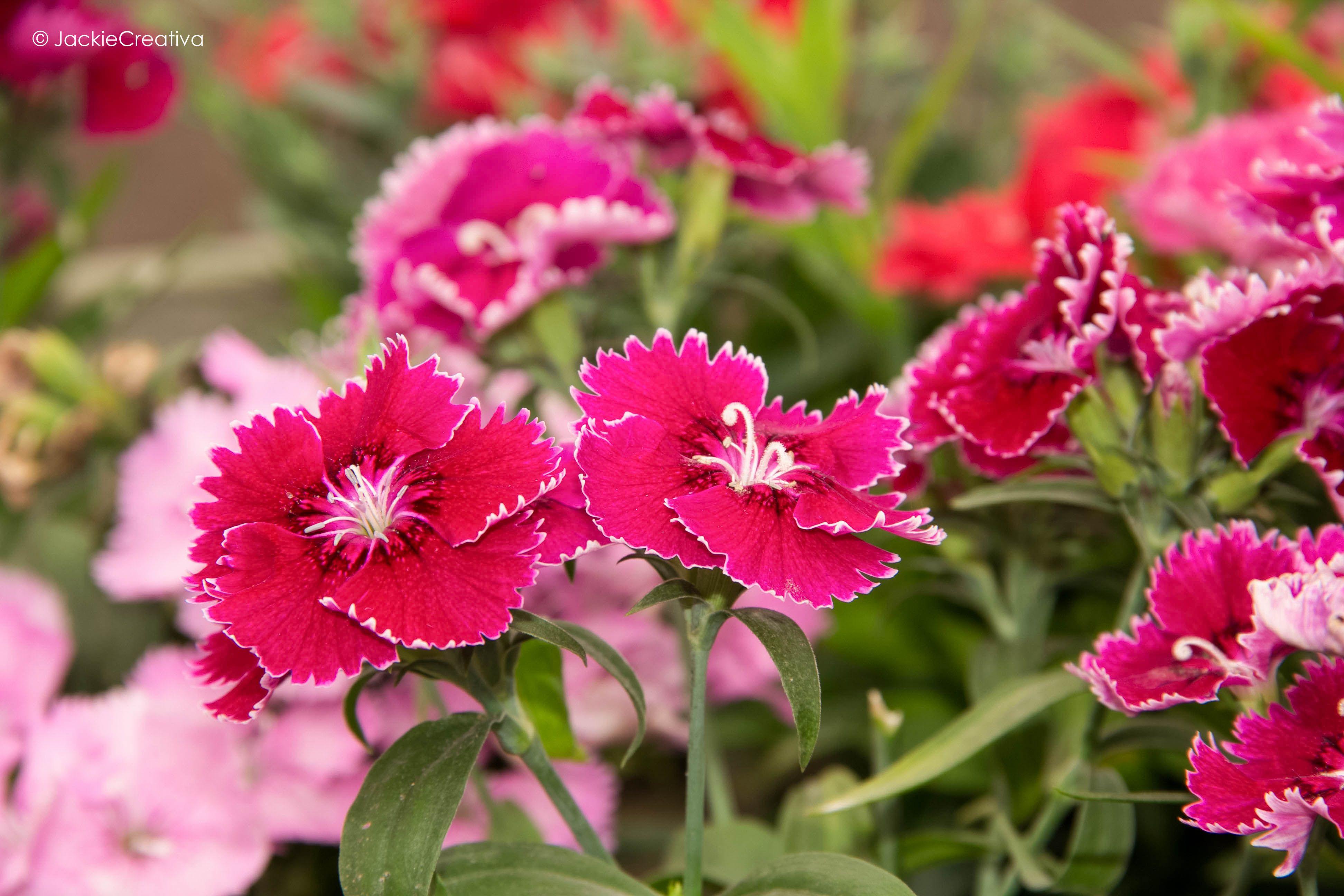 Estas flores fueron en el Parque Antonio Raimondi de Miraflores.... Fotografiada por :©JackieCreativa