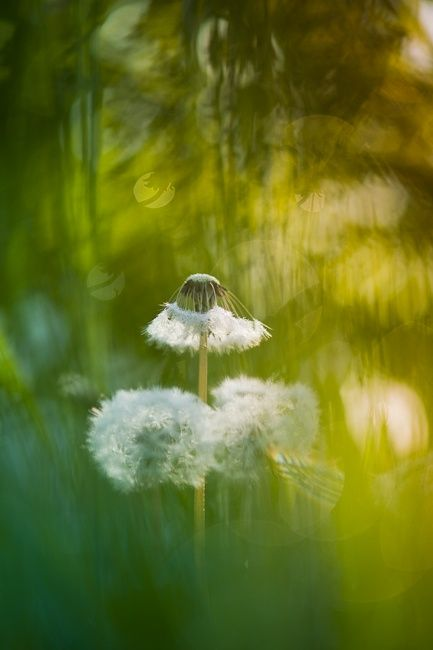 Dandelight by Andrea Gulickx on 500px