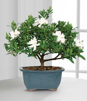 houseplants white flowering gardenia bonsai plant