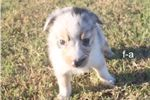 Australian Shepherd puppy for sale near Huntsville / Decatur, Alabama | 59ed2aec-2a61