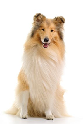 Collie In 2020 Shetland Sheepdog Sheepdog Collie Dog