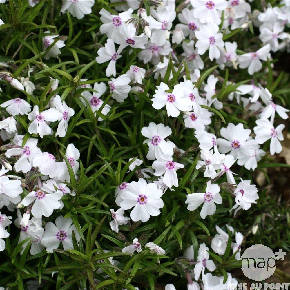 Phlox nain \'Amazing Grace\' : C2L | Jardin | Pinterest | Amazing grace