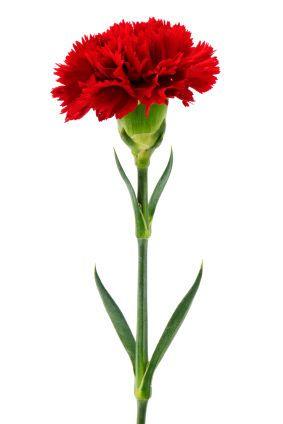 Carnations Flowers Carnation Carnations Carnation Flower